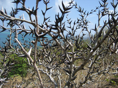 Thorn Bushes. Isla Providencia, Colombia