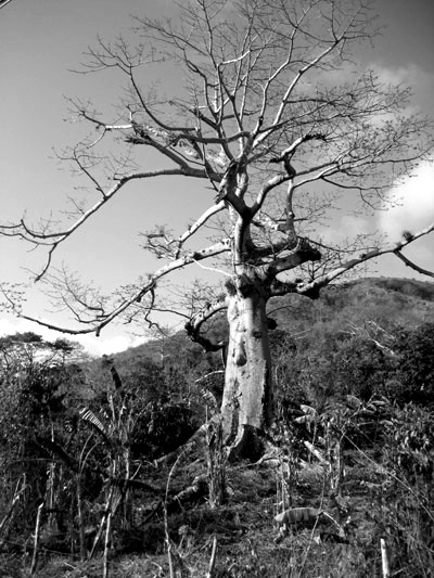 old tree on Isla Providencia, Colombia