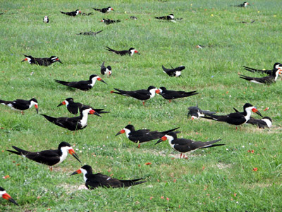 black skimmers. Rockport, Texas