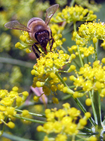 western honey bee on dill weed