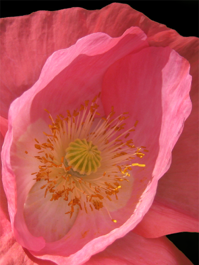 poppy closeup detail