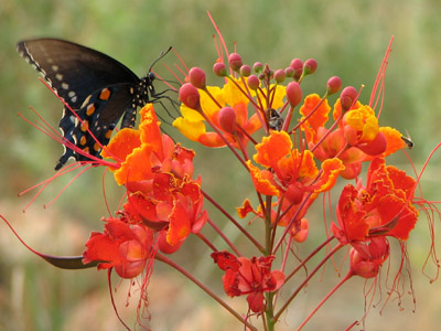 Pipevine swallowtail butterfly on a Red Bird of Paradise flower. Rio Rico, Arizona
