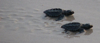 Kemp's ridley sea turtle hatchlings release Padre Island National Seashore, Texas