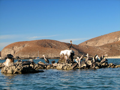 pelicans at the puerto balandra anchorage , near La Paz, Mexico
