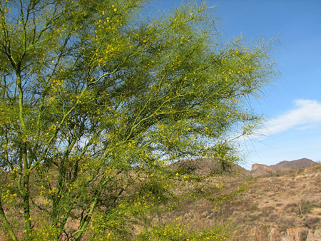 blooming palo verde tree
