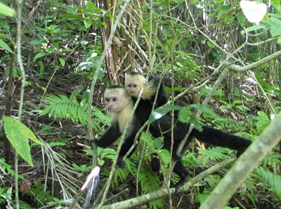 white faced monkeys. Parque Manuel Antonio, Costa Rica