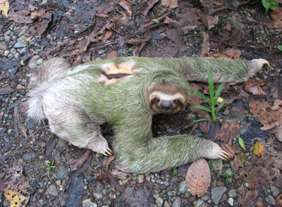 three-toed sloth. Parque Manuel Antonio, Costa Rica
