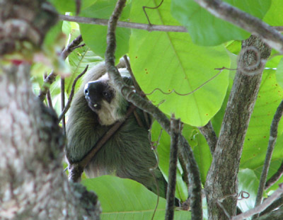 two-toed sloth. Parque Manuel Antonio, Costa Rica