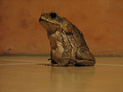 large Costa Rican Toad