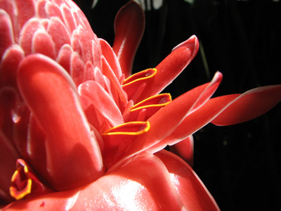 Torch Ginger. Casa Orquideas, Costa Rica