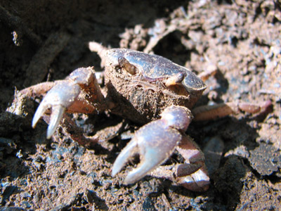 dirty crab. Rio Muerto, Panama