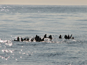large group of seals offshore