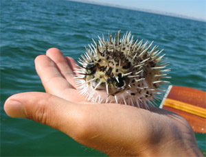Holding puffer fish in hand