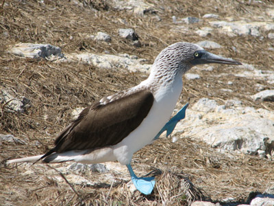 Blue Footed Booby Walking, Isla Isabella, Mexico