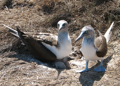 Blue Footed Boobies nesting with chick, Isla Isabella, Mexico