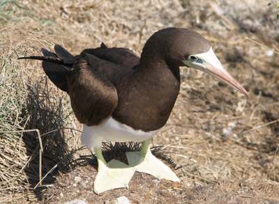 Female Brown Booby, Isla Isabella, Mexico
