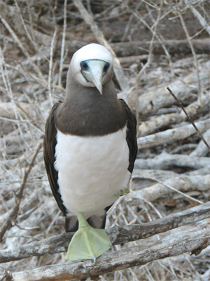 Brown Booby, Chamela, Mexico