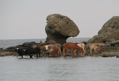 Cows drinking salt water near mushroom rock, Sea of Cortez, Mexico