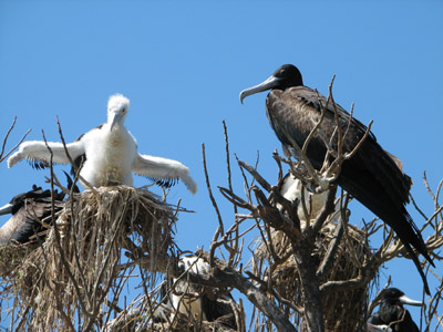 Frigate Birds Nesting with Chicks, Isla Isabella, Mexico