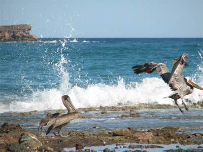 Pelicans, Sea of Cortez, Mexico