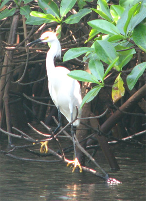 White Egret, Bahia Tenacatita, Mexico