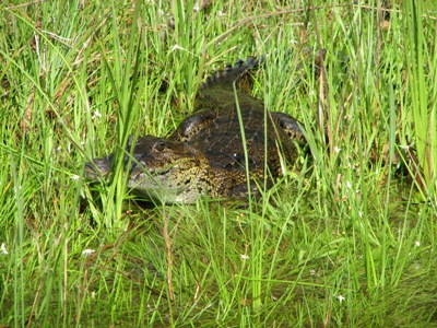 Fresh Water Crocodile on the New River in route to Lamanai ruins. Belize