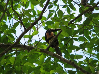 Collared Aracari (a small toucan)
